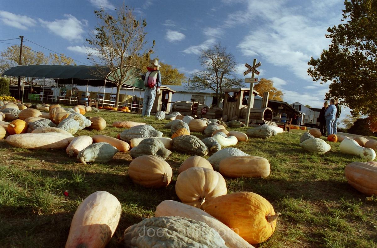 Tanners pumpkins